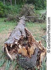 Fallen pine tree