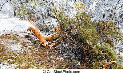 Fallen pine tree branch in winter forest