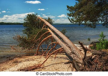 Fallen pine tree with exposed roots