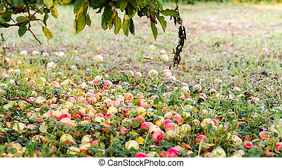 Fallen red apples on the green grass ground in garden