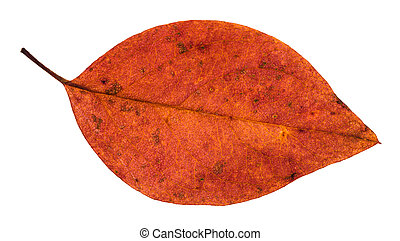 fallen red leaf of apple tree isolated