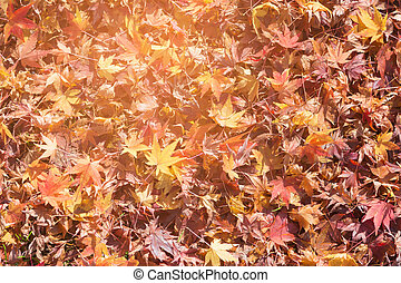 Fallen red maple leaves on ground
