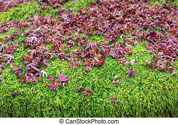 Fallen red maple leaves over green fern foliage
