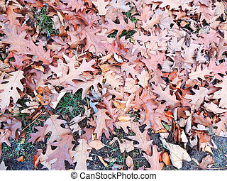 Fallen red oak leaves (Quercus rubra)