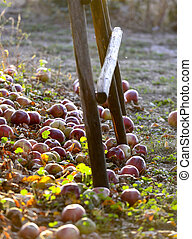 fallen ripe apples in an orchard,