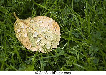 Fallen Rose leaf with dewdrops in the morning