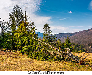 fallen spruce tree on forested hills in springtime