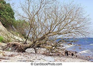 fallen tree - Cliff