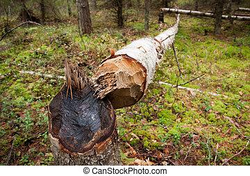 Fallen tree cut by beaver