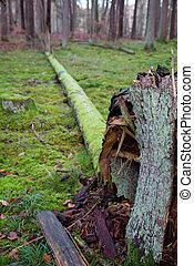 Fallen tree in a pine forest in winter