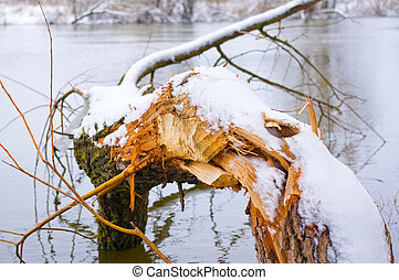 Fallen tree in river from the teeth beavers
