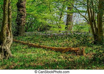 Fallen tree in the bluebell wood