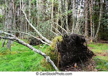 Fallen tree in the Cairngorms National Park - Fallen tree...