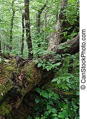 Fallen Tree in the Forest - Fallen large tree in the...