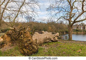 Fallen tree in the park and left to rot