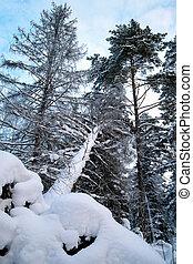 fallen tree in winter forest