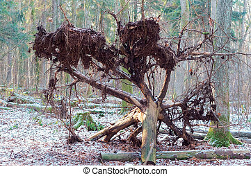 fallen tree in winter forest, tree uprooted