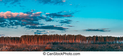 Fallen Tree Trunks And Stumps In Deforestation Area. Full Moon Rising Above Pine Forest Landscape In During Sunset Time Of Summer Evening. Sunrise Nature At Sunny Morning. Panorama, Panoramic View