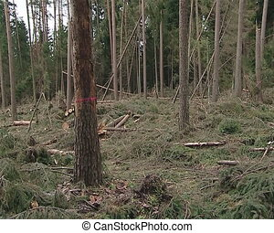 Fallen trees after a storm. Trees marked for cutting.