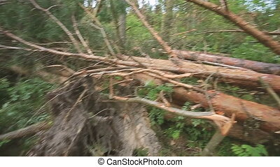 Fallen Trees In Coniferous Forest After Strong Hurricane ...
