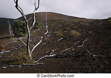 Fallen Trees, Lava Field, Hawaii