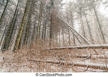 Fallen trees with snow in a forest