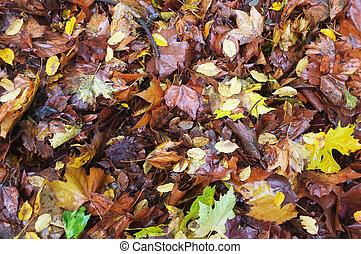 Fallen wet leaves