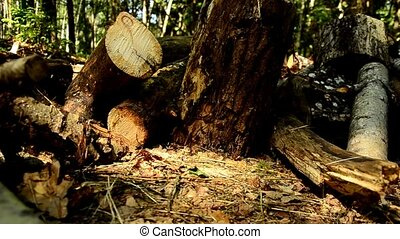 Fallen wood. The destruction of forests. Collapsed trees in the forest. 85