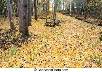 Fallen yellow aspen leaves at autumn forest