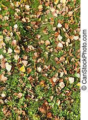autumn birch leaves on green meadow