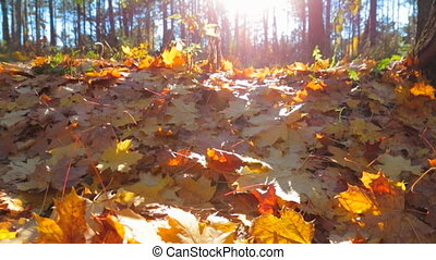Fallen yellow foliage in the autumn forest. Slow motion.