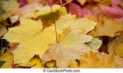 Fallen Yellow Leaves in Autumn. Translation Focus