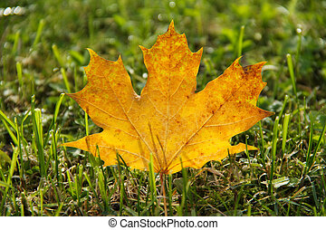 maple leaf in the grass