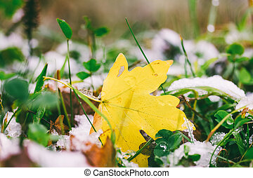 fallen yellow maple leaf on green grass and the first snow