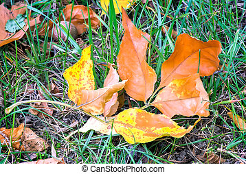 Fallen yellow oak leaves on a background of grass on the ground.