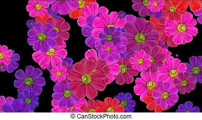 fallender , gänseblumen, blume, und, wildflower