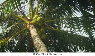 Coconuts falling from palm trees are a real hazard of life at tropical beaches in Phuket, Thailand. 4k Ultra HD video