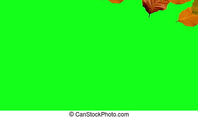 falling from right to left autumn leaves green screen