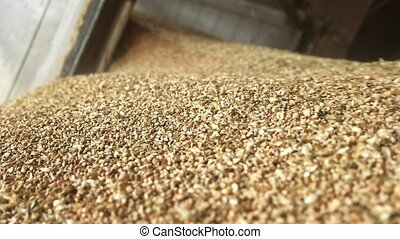 Falling grain wheat motion, close up. Pouring cereals, macro...