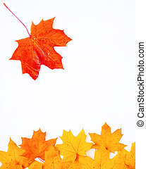 falling leaf of maple on a white background