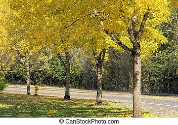 Falling Leaves from Neighborhood Beech Trees - Yellow...