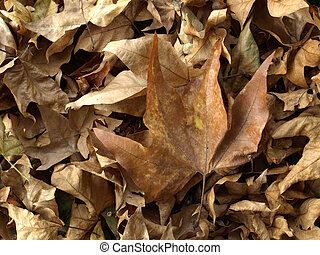 Falling leaves of sycamor