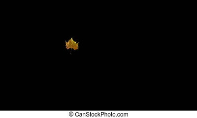 Falling maple leaf on a black background with an alpha matte finish. Seamless Loop. 3D-animation.
