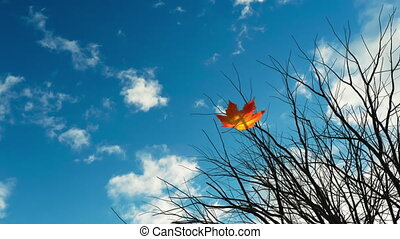 Falling Maple Leaf On Background Of Blue Sky. 3D Animation. ...