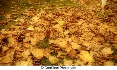 falling maple leaves full and golde