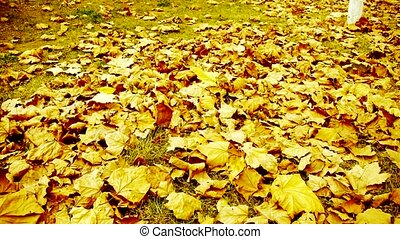 falling maple leaves full and gold