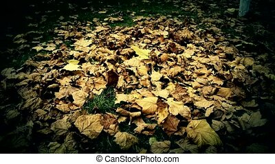 falling maple leaves full on ground