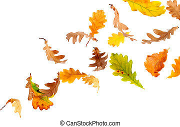 Falling Oak Leaves - Autumn oak leaves falling and spinning
