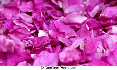falling petals red rose