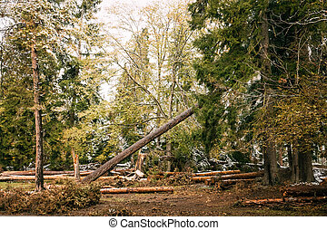 Falling Pine As A Result Of Felling Coniferous Trees....